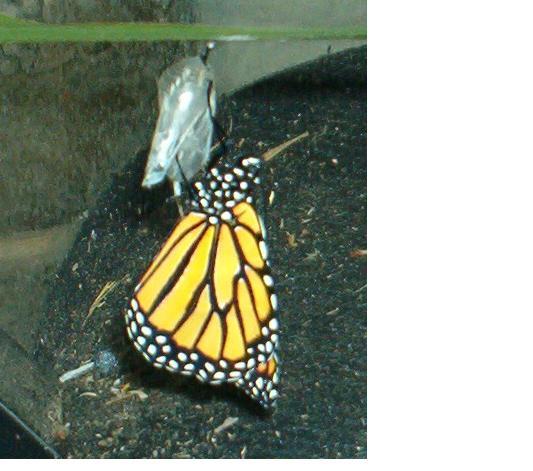 Butterfly4_3